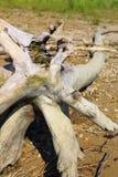 Παλαιό driftwood Στοκ φωτογραφίες με δικαίωμα ελεύθερης χρήσης
