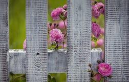 Παλαιό fance με τα τριαντάφυλλα Στοκ Εικόνα