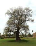 Παλαιό tamarind δέντρο Στοκ φωτογραφίες με δικαίωμα ελεύθερης χρήσης