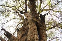 Παλαιό tamarind δέντρο Στοκ εικόνα με δικαίωμα ελεύθερης χρήσης