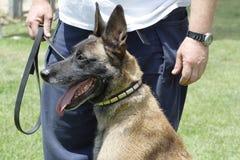 Παλεύοντας βελγική φυλή Malinois σκυλιών στοκ εικόνες