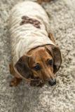 Παλτά σκυλιών Στοκ Φωτογραφίες