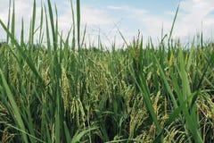 Πεδία ρυζιού στοκ φωτογραφία