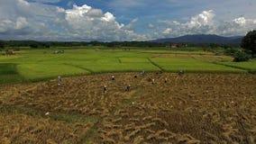 Πεδία ρυζιού απόθεμα βίντεο
