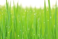 Πεδία ρυζιού Στοκ εικόνα με δικαίωμα ελεύθερης χρήσης