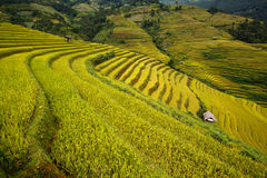 Πεδία ρυζιού Terrced - χρυσά terraced πεδία ρυζιού στη MU Cang Chai Στοκ Φωτογραφίες