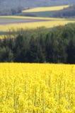 πεδία canola Στοκ εικόνα με δικαίωμα ελεύθερης χρήσης