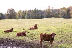 πεδίο αγελάδων Στοκ Εικόνες