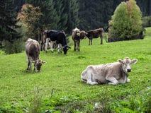 πεδίο βοοειδών πράσινο Στοκ Εικόνες