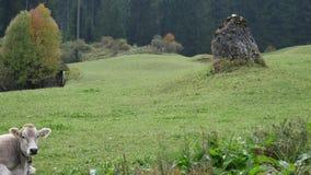 πεδίο βοοειδών πράσινο απόθεμα βίντεο