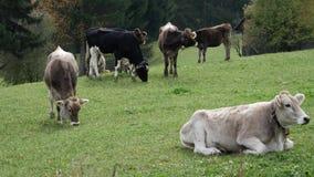 πεδίο βοοειδών πράσινο φιλμ μικρού μήκους