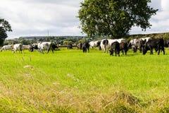 πεδίο βοοειδών Στοκ εικόνες με δικαίωμα ελεύθερης χρήσης