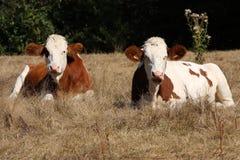 πεδίο δύο αγελάδων Στοκ Φωτογραφία