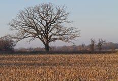 Πεδίο καλαμποκιού αγραναπαύσεων με το απόμερο δέντρο Στοκ Φωτογραφίες