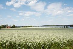 πεδίο κύμινου Στοκ Εικόνες