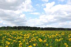 πεδίο πικραλίδων κίτρινο Στοκ Φωτογραφία