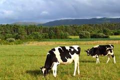πεδίο πράσινα δύο αγελάδω Στοκ εικόνες με δικαίωμα ελεύθερης χρήσης