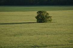 πεδίο πράσινο μόνο δέντρο Στοκ Φωτογραφίες