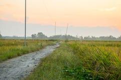 Πεδίο ρυζιού στο ηλιοβασίλεμα Στοκ εικόνες με δικαίωμα ελεύθερης χρήσης