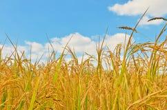 Πεδίο ρυζιού στο μπλε ουρανό στοκ εικόνα