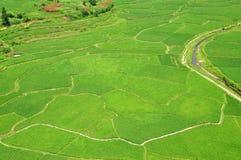 Πεδίο ρυζιού στοκ εικόνες με δικαίωμα ελεύθερης χρήσης