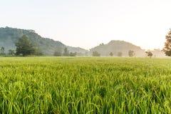 Πεδίο ρυζιού στοκ εικόνα με δικαίωμα ελεύθερης χρήσης
