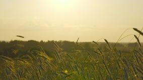 Πεδίο σίτου στο ηλιοβασίλεμα φιλμ μικρού μήκους
