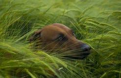πεδίο σκυλιών κριθαριού πράσινο Στοκ Εικόνα