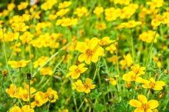 Πεδίο των κίτρινων λουλουδιών κόσμου στοκ εικόνες