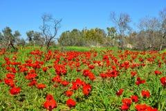 Πεδίο των κόκκινων λουλουδιών Στοκ Εικόνα