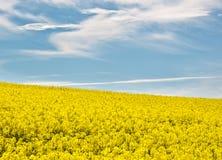 Πεδίο των λουλουδιών βιασμών το καλοκαίρι Στοκ φωτογραφίες με δικαίωμα ελεύθερης χρήσης