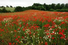 Πεδίο των λουλουδιών παπαρουνών παπαρουνών στοκ εικόνα