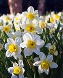 Πεδίο των daffodils Στοκ εικόνα με δικαίωμα ελεύθερης χρήσης