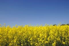 πεδίο canola κίτρινο Στοκ Φωτογραφία