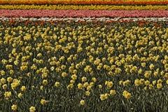 Πεδίο Daffodil κοντά σε Noordwijkerhout, νότια Ολλανδία, Κάτω Χώρες Στοκ εικόνες με δικαίωμα ελεύθερης χρήσης