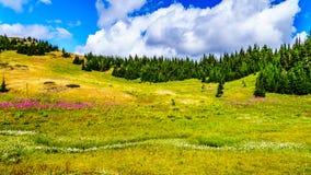 Πεζοπορία μέσω των αλπικών λιβαδιών που καλύπτονται στα wildflowers υψηλό στον αλπικό Στοκ εικόνες με δικαίωμα ελεύθερης χρήσης