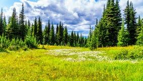 Πεζοπορία μέσω των αλπικών λιβαδιών που καλύπτονται στα wildflowers υψηλό στον αλπικό Στοκ Εικόνες