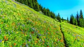 Πεζοπορία μέσω των λιβαδιών που καλύπτονται στα wildflowers υψηλό αλπικό στον κοντινό το χωριό των αιχμών ήλιων Στοκ φωτογραφία με δικαίωμα ελεύθερης χρήσης