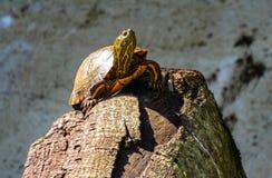 Πεζοπορώ της χελώνας Στοκ Εικόνες
