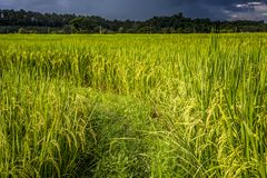 Πεζούλια ρυζιού γιαγιάδων, επαρχία γιαγιάδων, Ταϊλάνδη Στοκ Εικόνες