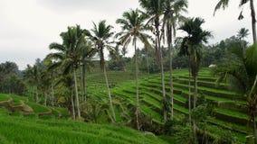 Πεζούλια ρυζιού σε Tegallalang, Ubud, Ινδονησία Οι αγρότες εργάζονται στις φυτείες ρυζιού Ομάδα αγρότη που εργάζεται σκληρά στο ρ απόθεμα βίντεο