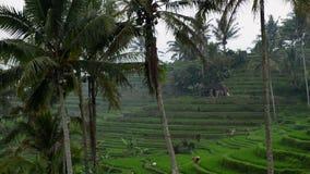 Πεζούλια ρυζιού σε Tegallalang, Ubud, Ινδονησία Οι αγρότες εργάζονται στις φυτείες ρυζιού Ομάδα αγρότη που εργάζεται σκληρά στο ρ φιλμ μικρού μήκους