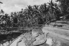 Πεζούλια ρυζιού στο Μπαλί, Ινδονησία - κλίνοντας φοίνικες στο υπόβαθρο - μονοχρωματικό στοκ εικόνες