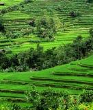 πεζούλια ρυζιού του Μπαλί Ινδονησία Στοκ εικόνα με δικαίωμα ελεύθερης χρήσης