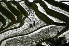 πεζούλια ρυζιού Στοκ Εικόνες