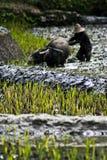 πεζούλια ρυζιού Στοκ εικόνες με δικαίωμα ελεύθερης χρήσης