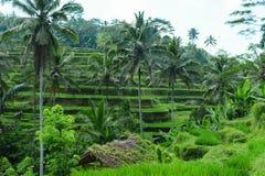 Πεζούλια ρυζιού Tegalalang, πράσινοι ζούγκλες και καπνός αύξησης σε Ubud, Μπαλί στοκ εικόνες με δικαίωμα ελεύθερης χρήσης