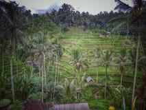 Πεζούλι ρυζιού Ceking ubud στοκ εικόνες