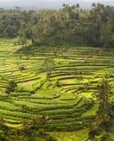 Πεζούλια ορυζώνα στο Μπαλί, Ινδονησία Στοκ Εικόνες