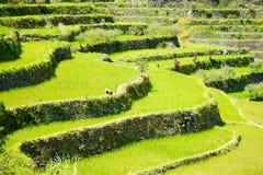 Πεζούλια ρυζιού στις Φιλιππίνες Καλλιέργεια ρυζιού στο Βορρά Στοκ Εικόνες